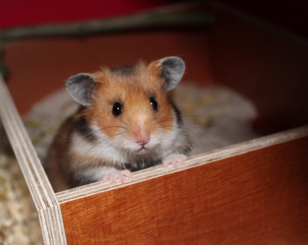 Teddyhamster im Hamster Sandbad