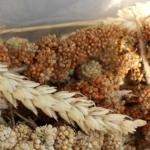Getreide und Sämereien für Hamster