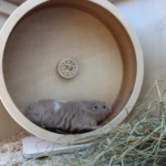 Laufrad für Hamster