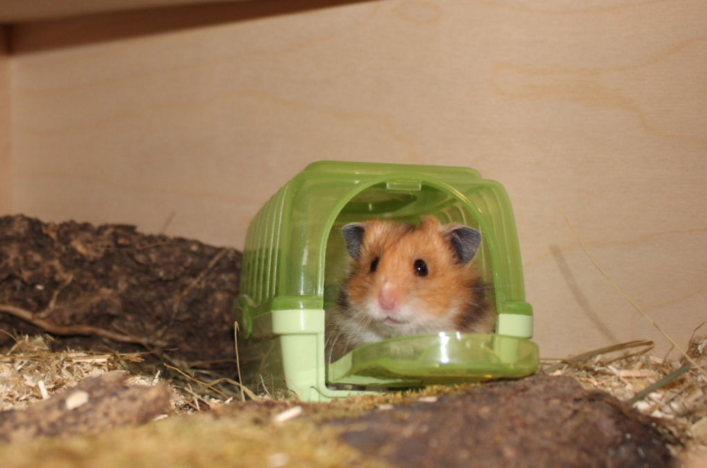 Teddyhamster in einer Transportbox